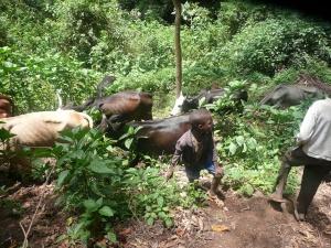 hippos 2 023